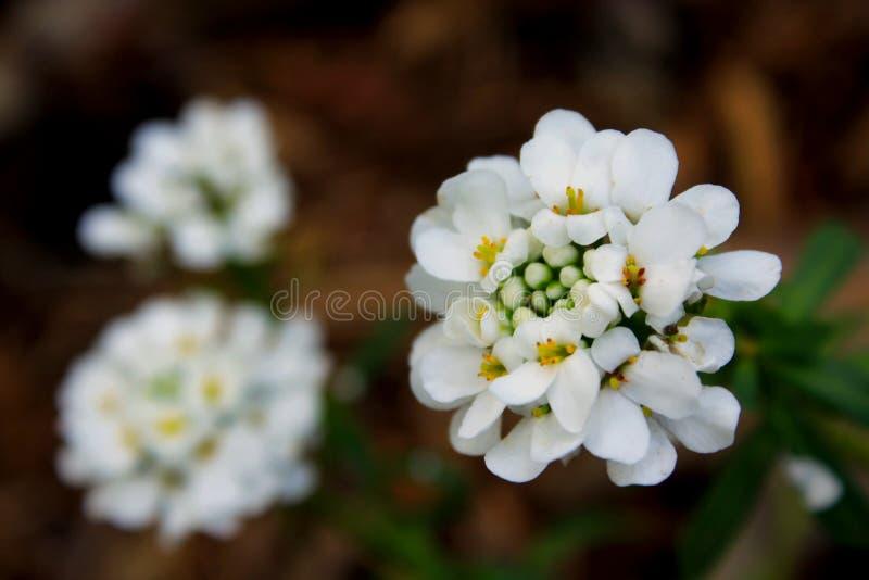 Fleurs de Candytuft annuel, Iberis Amara photo libre de droits