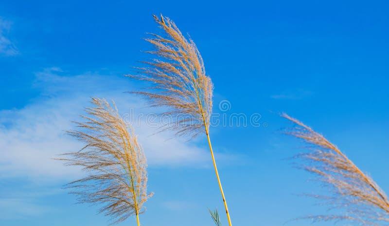 Fleurs de canne ? sucre avec le ciel nuageux bleu photo libre de droits