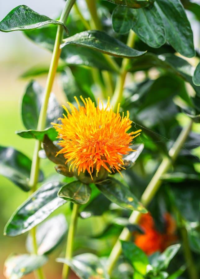 Fleurs de carthame dans un domaine photos libres de droits