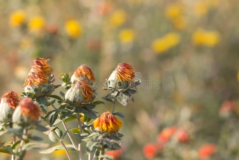 Fleurs de carthame sur le champ images stock