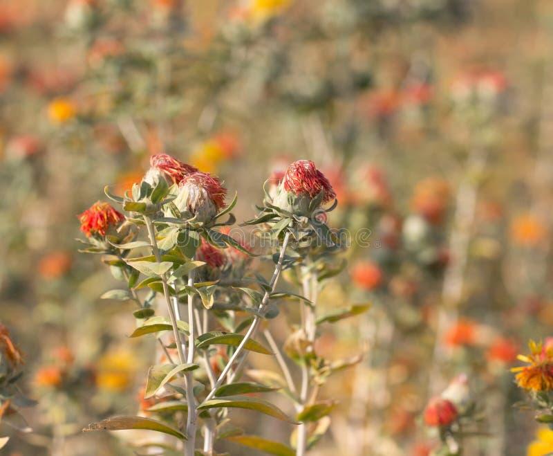 Fleurs de carthame sur le champ photographie stock libre de droits