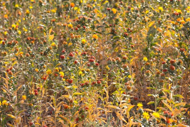 Fleurs de carthame sur le champ image stock