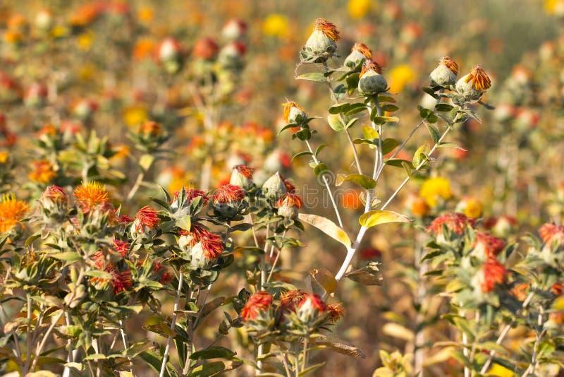 Fleurs de carthame sur le champ photos libres de droits