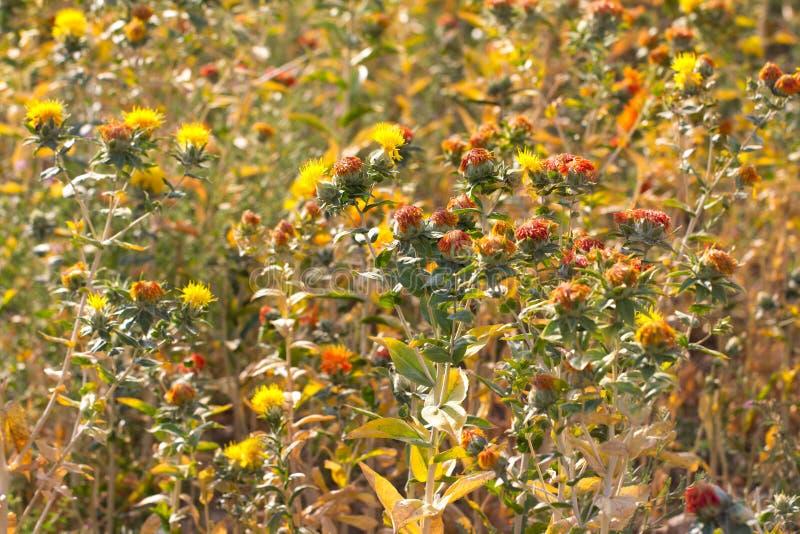 Fleurs de carthame sur le champ photo libre de droits