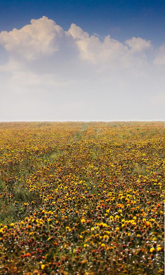 Fleurs de carthame sur le champ image libre de droits