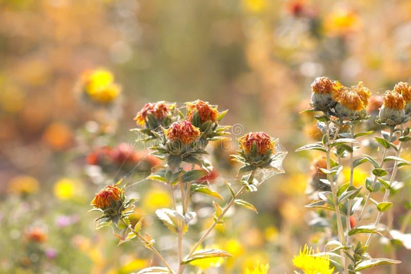 Fleurs de carthame sur le champ photographie stock