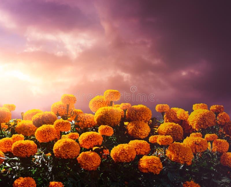 Fleurs de Cempasuchil utilisées pour le jour des autels morts image libre de droits