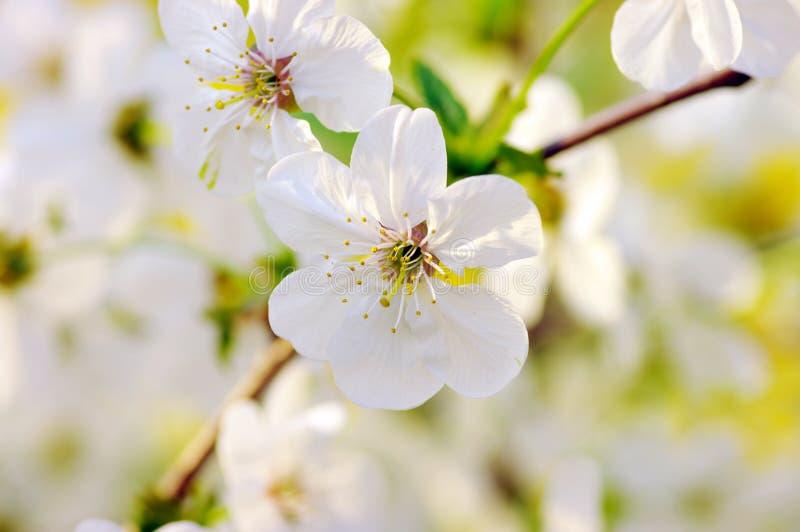 fleurs de cerise photos stock