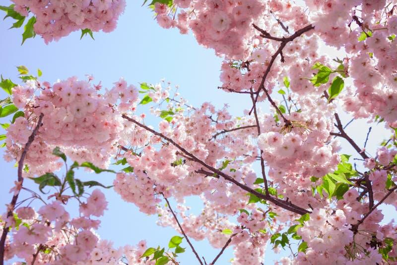 Fleurs de cerise photographie stock