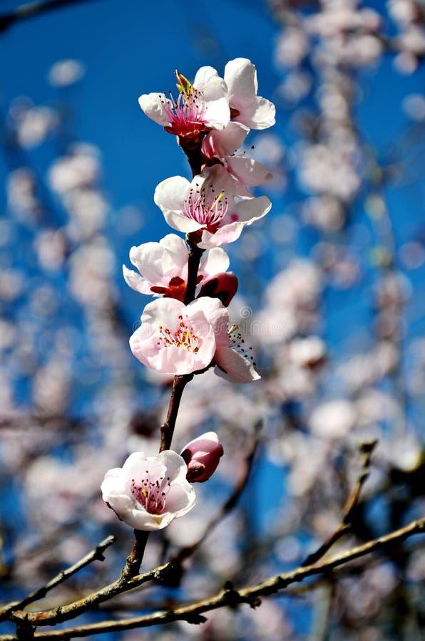 Fleurs de cerise dans la fleur photo stock