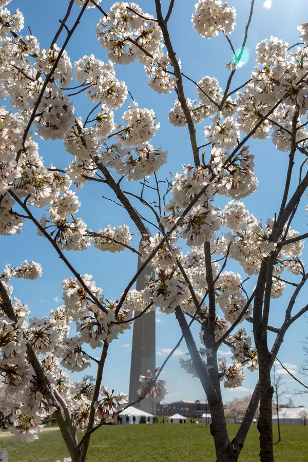 Fleurs de cerise dans le C photo libre de droits