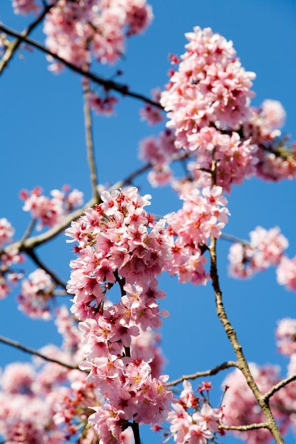 Fleurs de cerise de source photo libre de droits