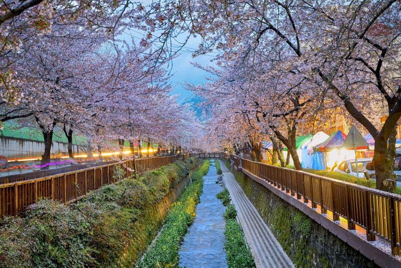 Fleurs de cerise sakura photos libres de droits