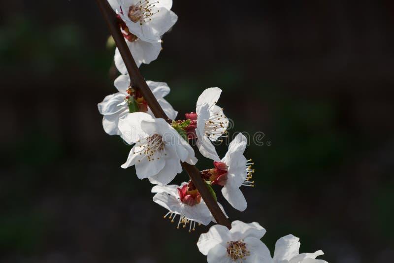 Fleurs de cerise sur un fond foncé images libres de droits