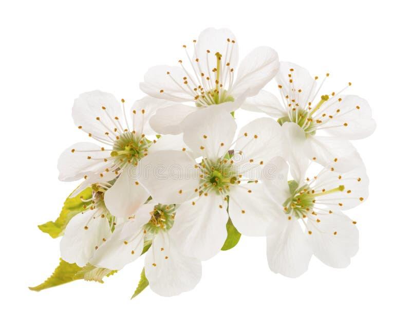 Fleurs de cerises d'isolement image stock