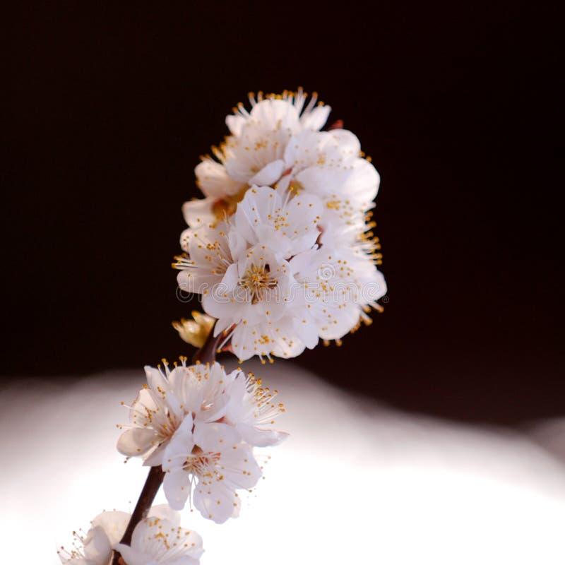 Fleurs de cerisier image stock