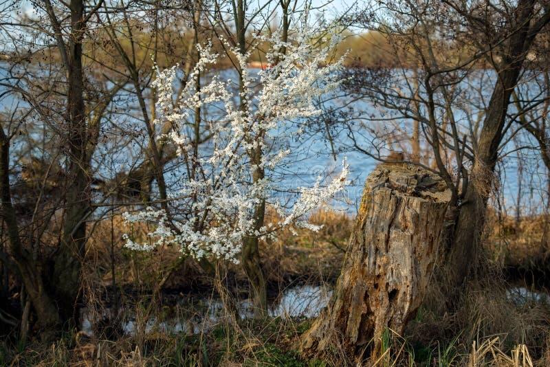 Fleurs de cerisier images stock