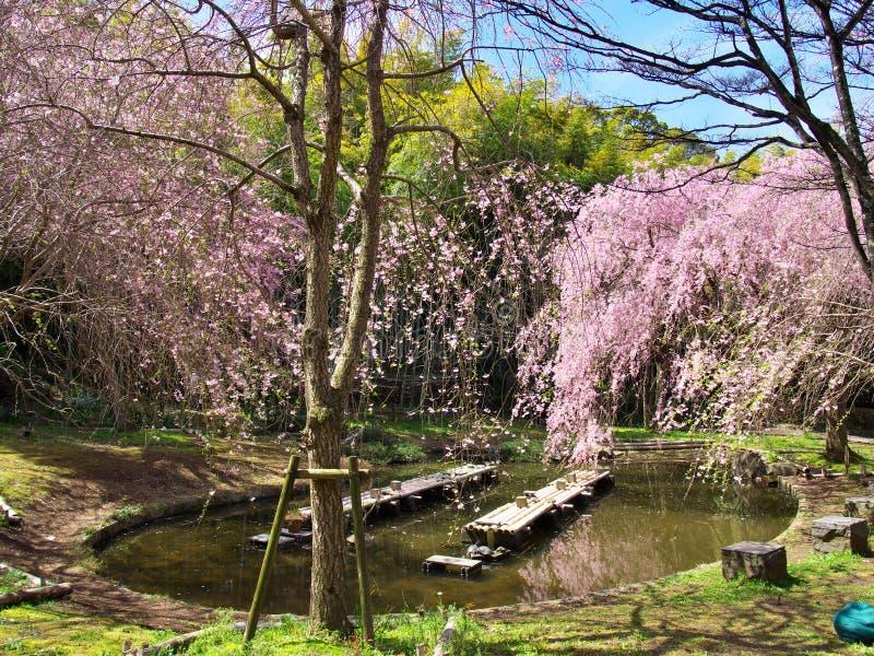 Fleurs de cerisier au château d'Arai de ruines image libre de droits