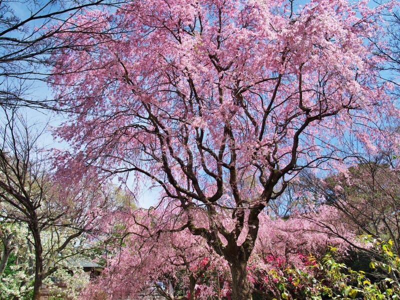 Fleurs de cerisier au château d'Arai de ruines image stock