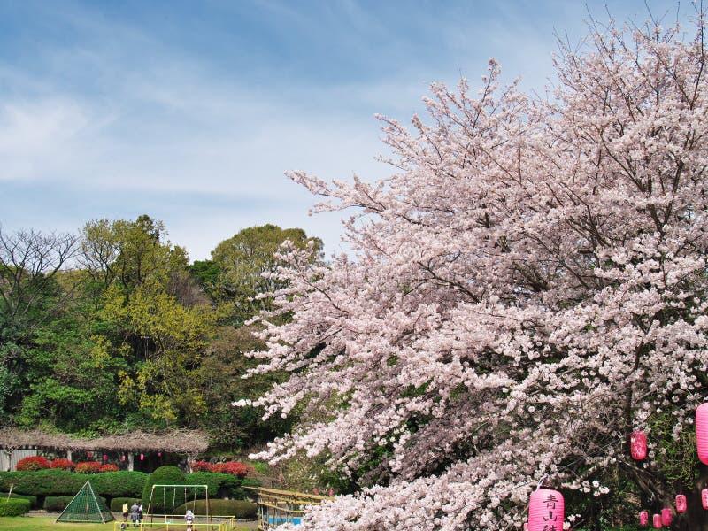 Fleurs de cerisier au château d'Arai de ruines images libres de droits