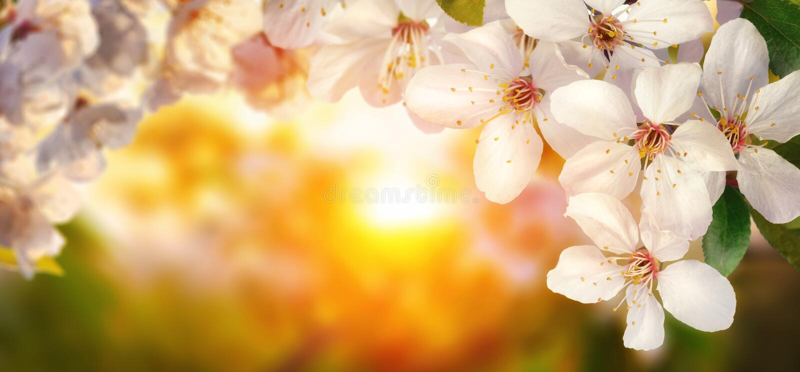 Fleurs de cerisier au coucher du soleil, format large photo stock