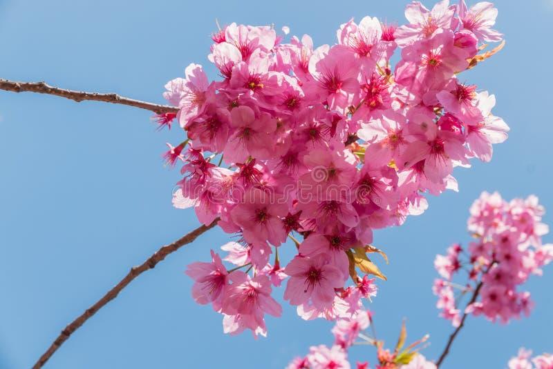 Download Fleurs De Cerisier Au Parc De Château De Hirosaki Photo stock - Image du bleu, normal: 76088398