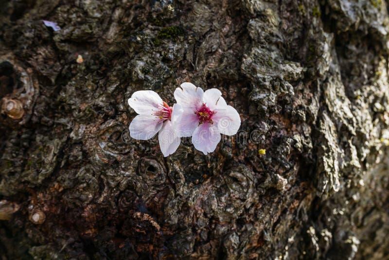 Download Fleurs De Cerisier Au Parc De Château De Hirosaki Image stock - Image du saison, paysage: 76089633