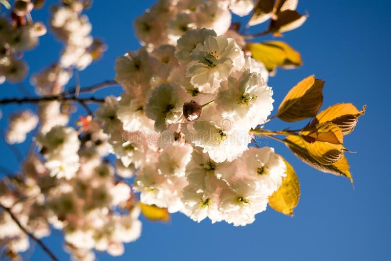 Fleurs de cerisier au printemps image stock