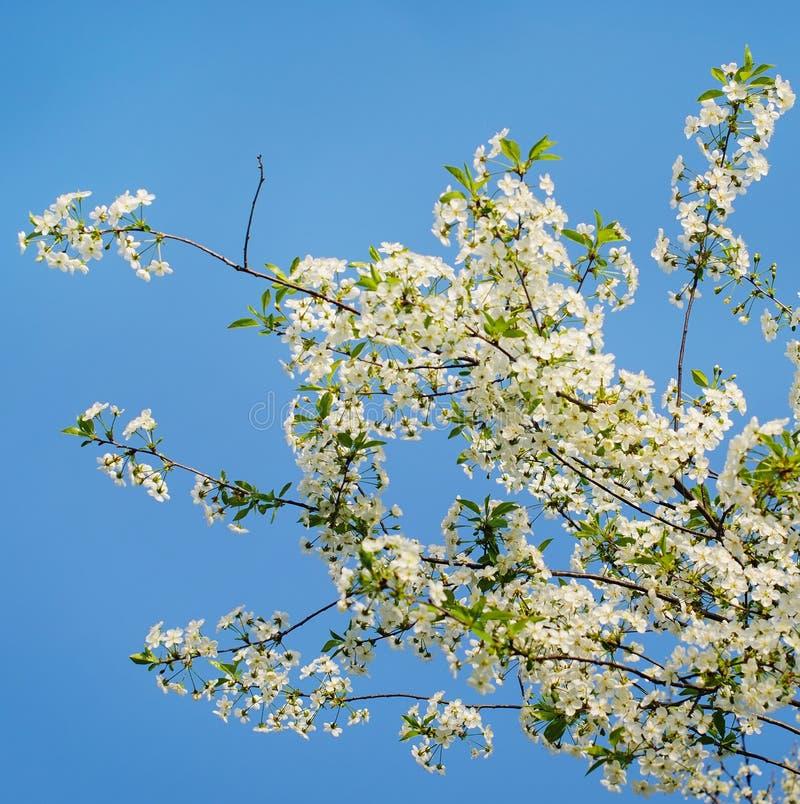 Fleurs de cerisier au printemps image stock image du saison japonais 71209237 - Greffe du cerisier au printemps ...