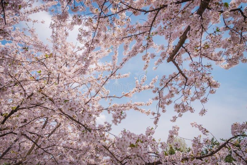 Fleurs de cerisier au printemps au château de Hirosaki photographie stock libre de droits