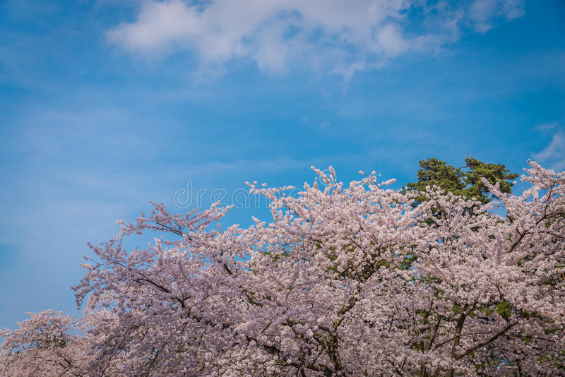 Fleurs de cerisier au printemps au château de Hirosaki photo libre de droits