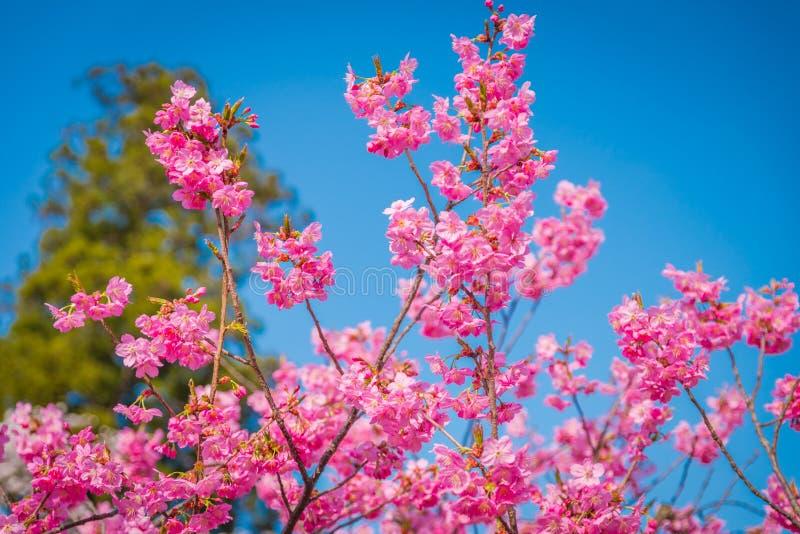 Fleurs de cerisier au printemps au château de Hirosaki images stock