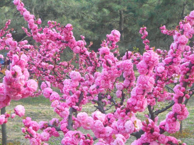 fleurs de cerisier au printemps dans la porcelaine images libres de droits