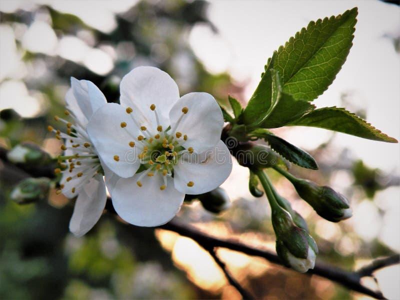 Fleurs de cerisier blanches au coucher du soleil images libres de droits