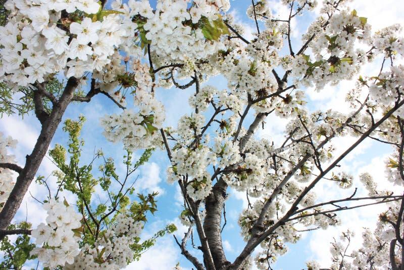 Fleurs de cerisier blanches de ressort, fond de ciel de fleur d'amande image de plafond de bout droit photographie stock libre de droits