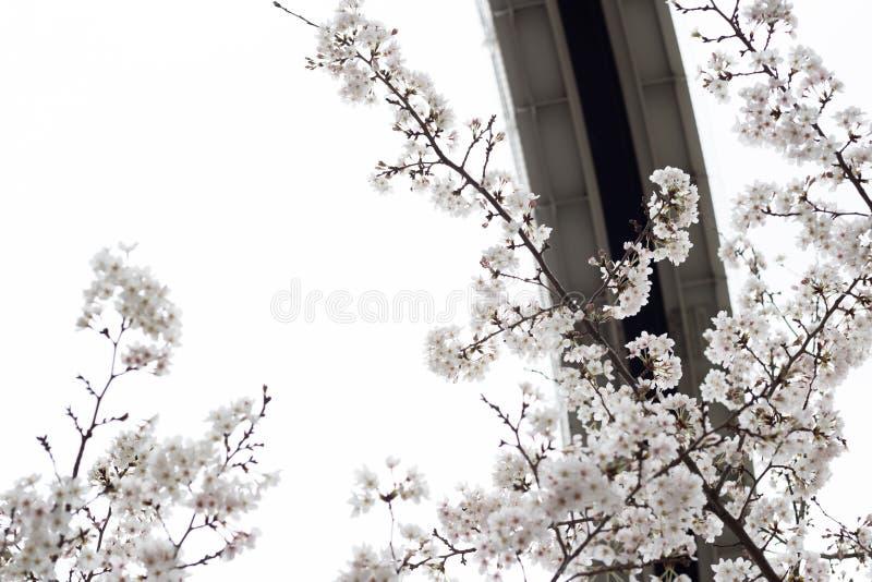 fleurs de cerisier ? Chiba photo libre de droits