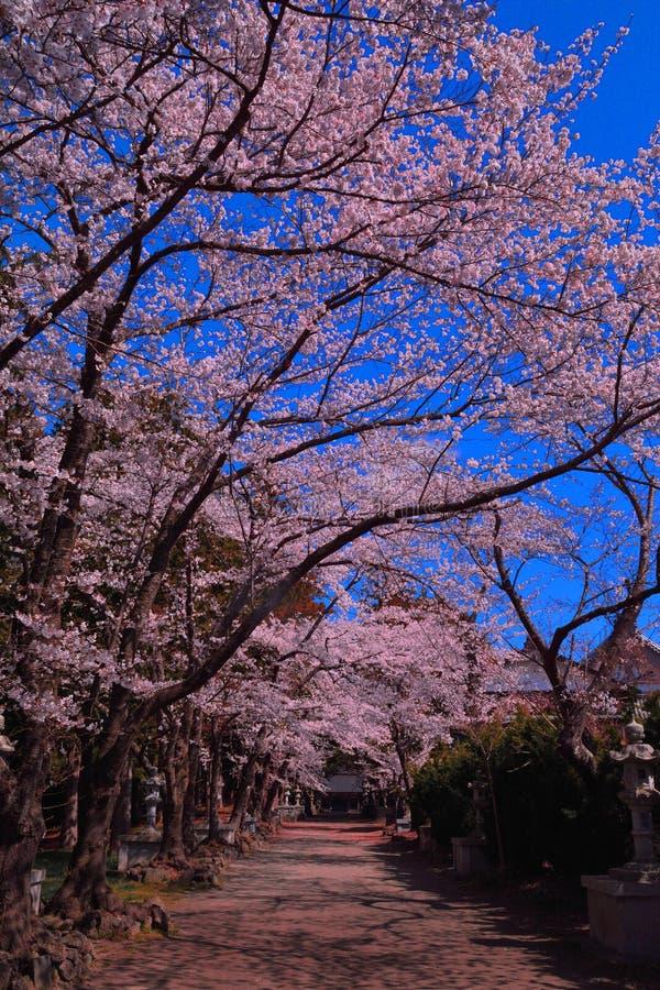 Fleurs de cerisier de ciel bleu dans le tombeau de Fuji Omuro Sengen du lac Kawaguchi image stock