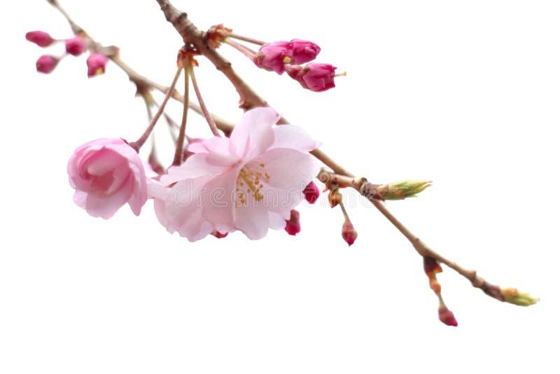 Fleurs de cerisier d'isolement par arbre de fleur de Sakura de pleine floraison image stock