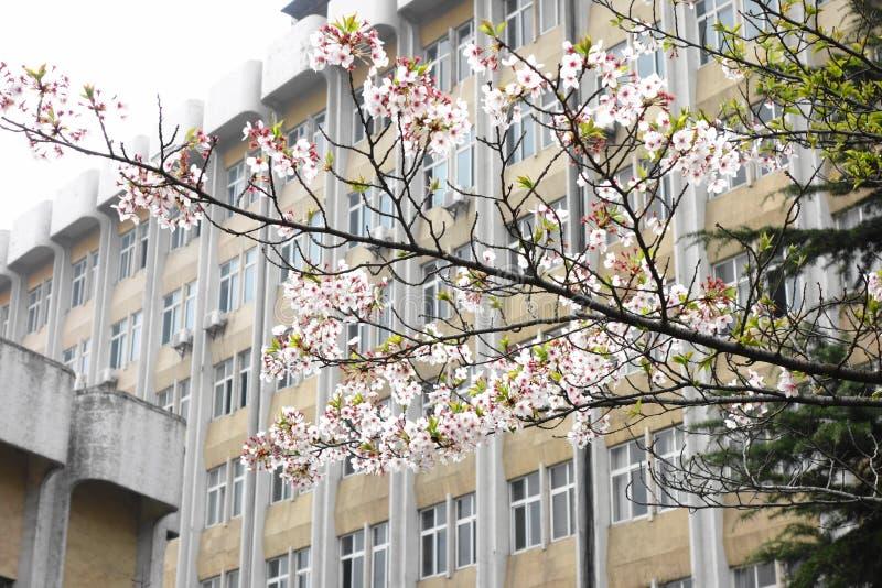 Fleurs de cerisier dans le campus photo libre de droits