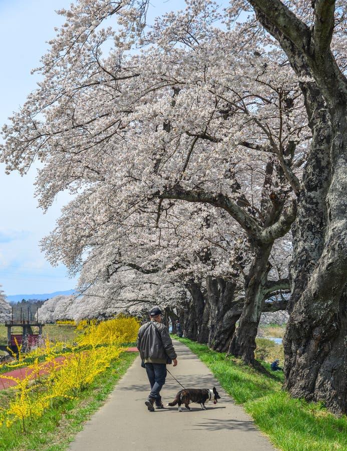 Fleurs de cerisier dans Miyagi, Japon photos stock