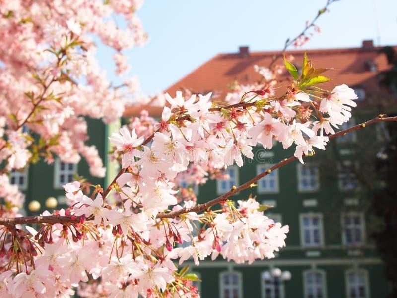 Fleurs de cerisier dans Szczecin Pologne images libres de droits
