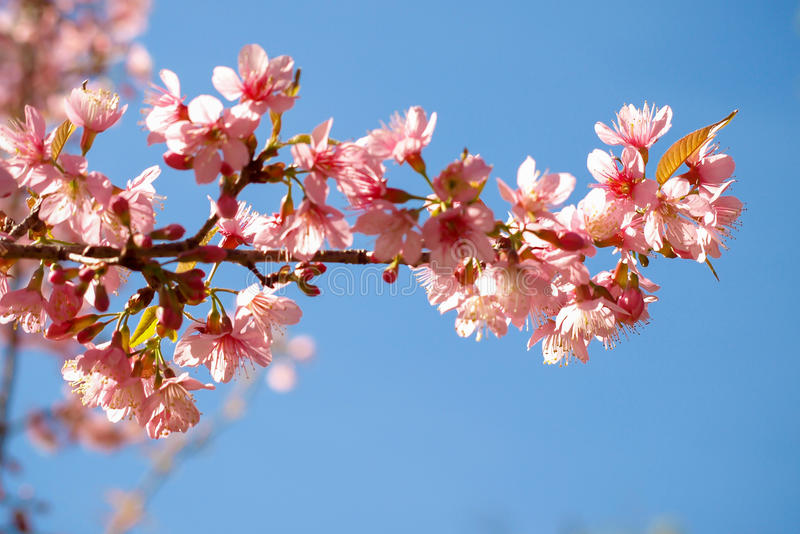 Fleurs de cerisier de l'Himalaya sauvages photos stock