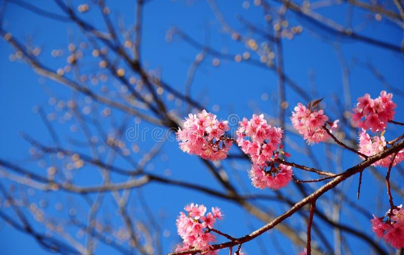 Fleurs de cerisier de l'Himalaya sauvages roses image libre de droits