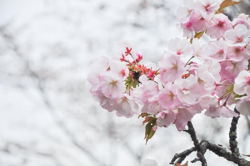Fleurs de cerisier de ressort avec le plan rapproché mou de foyer photo stock