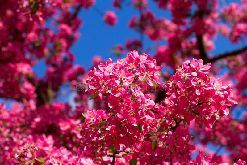 Fleurs de cerisier de ressort, fleurs roses images stock