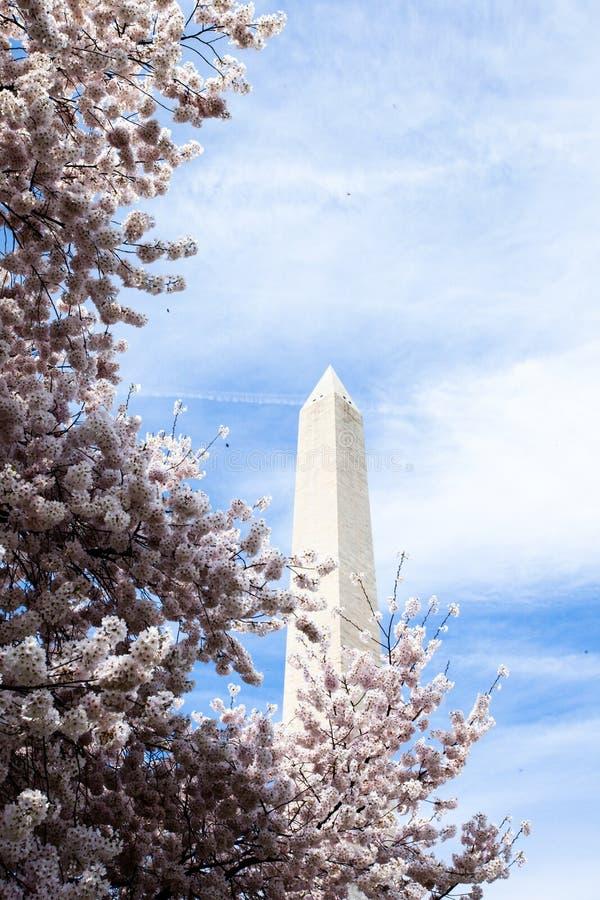Fleurs de cerisier de Washington DC avec le lac et le Washington Monument photos libres de droits