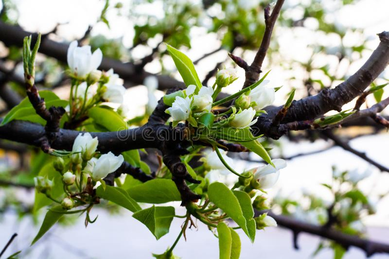 Fleurs de cerisier en parc images libres de droits