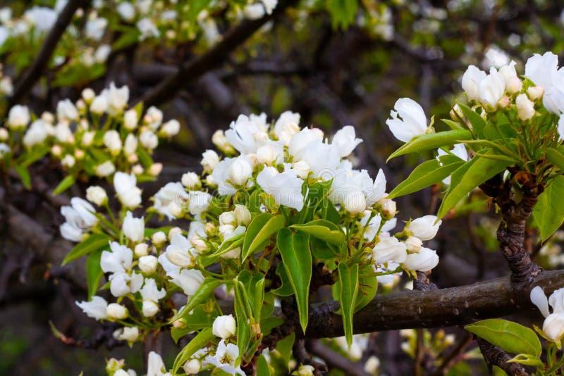 Fleurs de cerisier en parc image stock