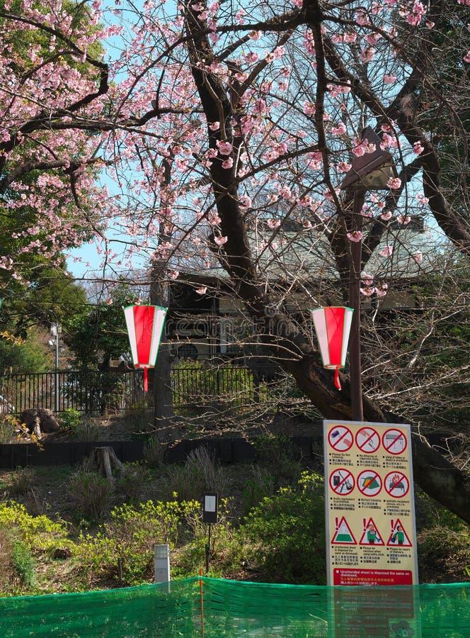 Fleurs de cerisier en parc d'Ueno, Tokyo, Japon images libres de droits