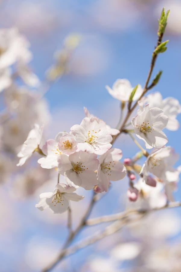 Fleurs de cerisier, en parc de Showa Kinen, Tokyo, Japon photo stock
